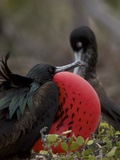Male Great Frigatebird, Fregata Minor, with His Red Sac Inflated Photographic Print by Tim Laman