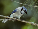 A Blue Jay, Cyanocitta Cristata, Perched on a Pine Tree Branch Photographic Print by Bates Littlehales