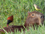 Wattled Jacana and Another Bird Perched on a Capybara Photographic Print by Roy Toft