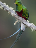 Resplendent Quetzal, Pharomachrus Mocinno, Bird Perched in a Tree Photographie par Roy Toft