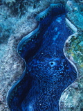 An Open Giant Clam, Tridacna Gigas, in the Great Barrier Reef Photographic Print by Bates Littlehales