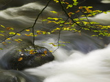 An Autumnal Tree Hanging over a River Flowing around a Boulder Photographic Print by Nigel Hicks
