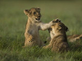 African Lion Cubs, Panthera Leo, Playing Photographic Print by Beverly Joubert