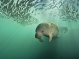 Brian J. Skerry - Florida Manatees Swimming Near a School of Mangrove Snapper Fish Fotografická reprodukce