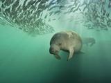 Brian J. Skerry - Florida Manatees Swimming Near a School of Mangrove Snapper Fish - Fotografik Baskı