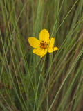 A Yellow Wildflower Among Thin Grasses Photographic Print by Karen Kasmauski