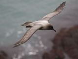 Light-Mantled Sooty Albatross, Phoebetria Palpebrata, in Flight Photographic Print by Roy Toft