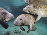 Florida Manatees, Trichechus Manatus Latirostris, in Clear Water Fotografisk tryk af Brian J. Skerry
