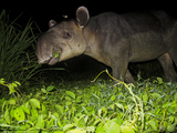 A Tapir Eating Vines in a Jungle Clearing Photographic Print by Ben Horton