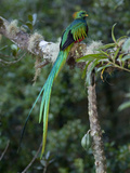 Resplendent Quetzal, Pharomachrus Mocinno, Bird Perched in a Tree Papier Photo par Roy Toft