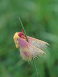 A Dew-Covered Rosy Maple Moth, Dryocampa Rubicunda, Clinging to Grass Photographic Print by Bates Littlehales