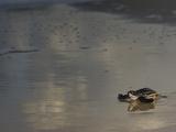 A Leatherback Turtle Hatchling Crawls to the Sea Fotografisk tryk af Brian J. Skerry