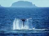 A Humpback Whale Sounding, Showing it's Tail Photographic Print by Bates Littlehales