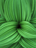 Close Up Detail of the Swirled Leaves of a False Hellebore Plant Photographic Print by Bates Littlehales