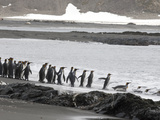 King Penguins, Aptenodytes Patagonicus, Entering the Water Photographic Print by Roy Toft