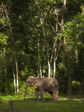 An Asian Elephant, Elephas Maximus, Standing in a Wooded Setting Photographic Print by Karen Kasmauski
