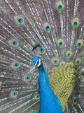 Portrait of a Captive Male Indian Peacock, Pavo Cristatus Photographic Print by Paul Sutherland