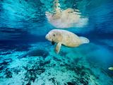 Florida Manatees, Trichechus Manatus Latirostris, in Clear Water Fotografisk tryk af Brian J. Skerry
