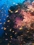 Anthias Schooling around a Soft Coral Garden Photographic Print by Mauricio Handler