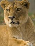 Portrait of a Female African Lion, Panthera Leo Fotografie-Druck von Paul Sutherland
