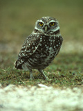 Portrait of a Burrowing Owl, Athene Cunicularia Photographic Print by Bates Littlehales