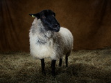 A Shetland Sheep at the Indiana State Fair Photographic Print by Vincent J. Musi