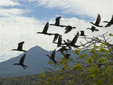 Cormorants in Flight under a Cloud-Filled Sky Photographic Print by Karen Kasmauski