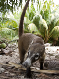 An Endemic Cozumel Coatimundi, Nasua Nelsoni, Foraging for Food Photographic Print by Roy Toft