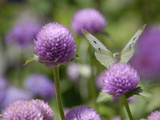 A Butterfly Alighted on a Thistle Photographic Print by Stephanie Lane