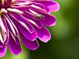 An Extreme Close Up of a Purple Zinnia Flower with a Ladybug Photographic Print by Brian Gordon Green