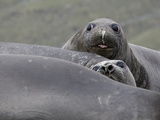 Southern Elephant Seals, Mirounga Leonina, Lying on a Beach Photographic Print by Roy Toft