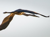 A Great Blue Heron in Flight over the Occoquan River Photographic Print by Kent Kobersteen