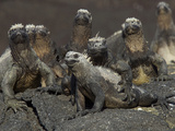 Marine Iguanas Sunning Themselves to Aid in Digestion Photographic Print by Tim Laman