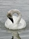 A Trumpeter Swan, Cygnus Buccinator, Preening Photographic Print by Robbie George
