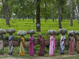 Women Workers Tote Freshly Picked Tea Leaves to Be Processed Photographic Print by Steve Winter