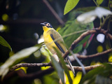 Portrait of a Captive Figbird, Sphecotheres Viridis Photographic Print by Kent Kobersteen