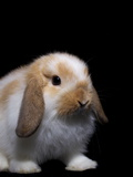 A Holland Lop Rabbit at the Indiana State Fair Photographic Print by Vincent J. Musi
