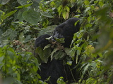 A Mountain Gorilla Eating Vegetation Photographic Print by Peter Carsten