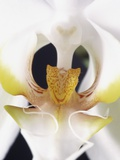 White Orchid Photographic Print by John-Francis Bourke