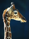 Head of a young giraffe Photographic Print by Herbert Kehrer
