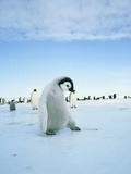 Young emperor penguin in front of a flock of penguins Photographic Print by Hans Reinhard