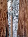 Redwood giants, California, USA Photographic Print by Theo Allofs