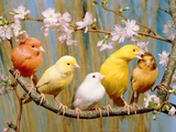 Five Colourful Canaries Sitting on a Branch with Blossoms Photographic Print by Hans Reinhard