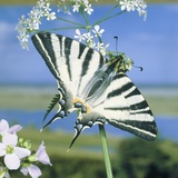 Sail butterfly sitting on a blossom Photographic Print by Volkmar Brockhaus
