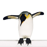 King penguin Photographic Print by Josh Westrich
