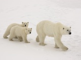 Polar Bear Mother and Cubs Photographic Print by Daniel Cox