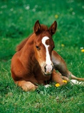 Quarterhorse, brown foal is lying in a meadow Photographic Print by Lothar Lenz