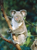 Koala on a tree Photographic Print by Lothar Lenz
