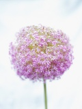 Purple Allium Photographic Print by Paul Edmondson