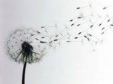 Dandelion Photographic Print by  Creasource